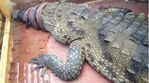 alligator claws 11 foot crocodile found in lake tarpon nbc 6 south florida
