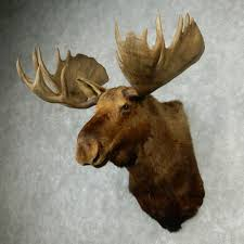 alaskan moose head for sale 12757 the taxidermy store