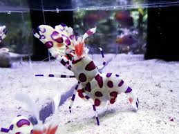 the hawaiian harlequin shrimp is the ultimate ornamental invert
