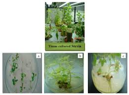 plant tissue culture current status and opportunities intechopen