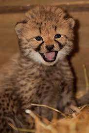 is cub open on thanksgiving smile for the camera this cheetah cub is having a great day http