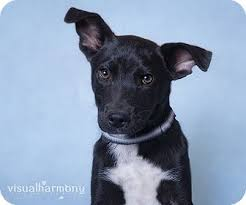 belgian shepherd black pudgie adopted puppy phoenix az belgian malinois labrador