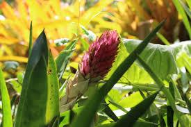 native plants in brazil waimea valley