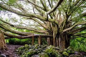 tree of life maui hawaii best travel photos pinterest maui