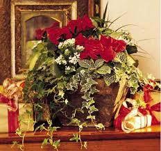 Christmas Plants 76 Best Poinsettias Images On Pinterest Poinsettia Christmas
