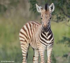 a dazzle of zebras a striped photo gallery travel 4 wildlife