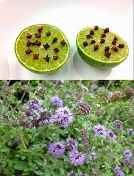 plants that keep mosquitoes away as many exceptions as rules what u0027s so repelling about repellents