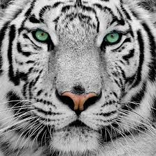 White Tiger Shower Curtain White Tiger Wallpapers Hd Wallpaper Art Wallpapers Pinterest