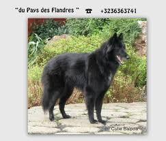 belgian sheepdog groenendael sale belgian groenendael