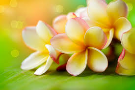 Flower Colour Symbolism - plumeria flower meaning flower meaning