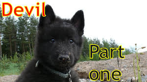 belgian sheepdog price in india devil belgian groenendael puppy part 1 youtube
