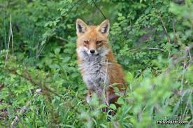 Maryland wildlife images Red fox mdwildlife jpg
