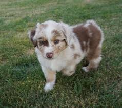 australian shepherd 14 weeks puppies mountain wrangler aussies australian shepherd puppies