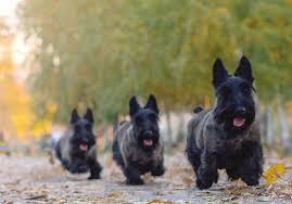 belgian shepherd x staffy scottish terrier dog breed information pictures characteristics
