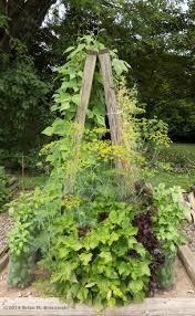 morning glory vines bean flowers u0026 herbs gardenblog2013