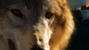 wild yellowstone she wolf national geographic channel canada