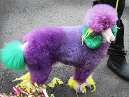 mardi gras dog 2016 mardi gras beggin pet parade part 2 this pug