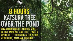 katsura tree the pond 8 hour relaxation for sleep
