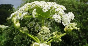 Nickel Poisoning Blindness Giant Hogweed 8 Facts You Must Know About The Toxic Plant Photo