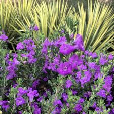native central texas plants deer resistant landscape plants hill country water gardens