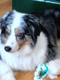 australian shepherd cost fundraiser by mary brown new eyes for a perfect dog