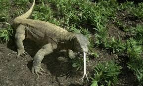 komodo dragon smithsonian u0027s national zoo