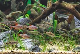 Asian Themed Fish Tank Decorations How To Set Up An Asian Aquarium On A Budget U2014 Practical