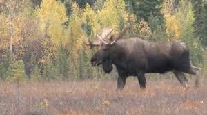 2012 alaska trophy moose hunting hunting the rut youtube
