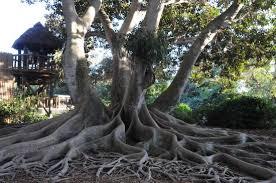 Botanical Gardens Sarasota Fl Banyan Tree Picture Of Selby Botanical Gardens Sarasota