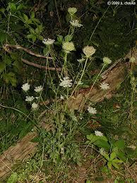 daucus carota queen anne u0027s lace minnesota wildflowers