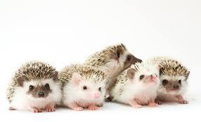 16 fun facts hedgehogs mental floss