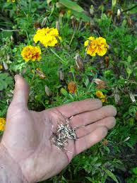 Marigolds Shade by Planting Under Trees Seed Decision Rusted Leaves This Weekend