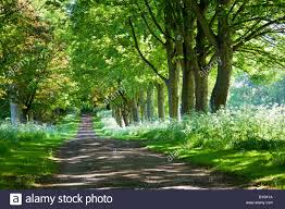 a country bordered by beech trees and cow parsley in the