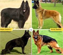belgian sheepdog registry 11 dog breeds like the german shepherd pethelpful