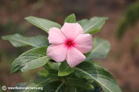 Vinca Flowers Vinca Flower Pictures Madagascar Periwinkle Pictures