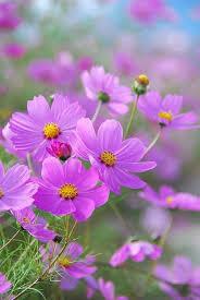 best 25 cosmos flowers ideas on pinterest pastel flowers