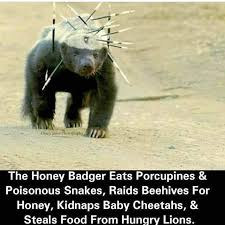 Honey Badger Meme - honey badger don t care album on imgur