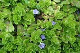 florida native aquatic plants aquatic plants of florida freshwater herbaceous