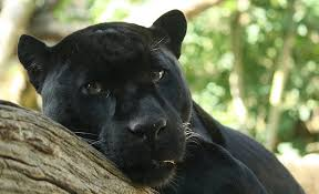 Florida Wild Animals images Living alongside wildlife so you say you saw a black panther jpg
