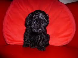 haircutsfordogs poodlemix lhasa poo lhasa apso poodle mix info temperament puppies pictures