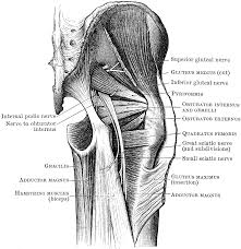 Nerves In The Knee Anatomy Muscles And Nerves Of The Buttock Clipart Etc