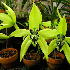 buy an orchid purchase orchid plants online buy orchid plants online