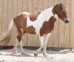 white mustang horse pinto horse wikipedia