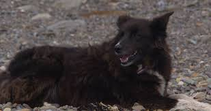 belgian sheepdog mixed with border collie brown border collie mix dog with white paws picks up stone and