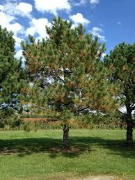 ornamental pine trees pruning uk pictures angeloferrer