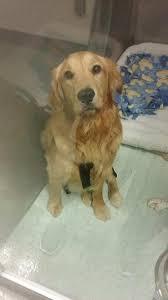 Comfort Retriever Puppies For Sale Grrow Golden Retriever Rescue Of Wisconsin