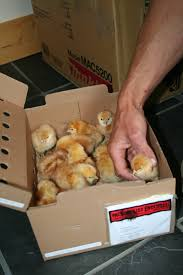how to raise your own backyard chickens u2013 reved quarterly