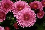File:<b>Chrysanthemum</b>