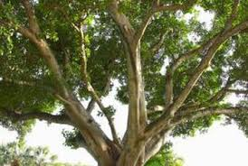 how to buy real ficus trees home guides sf gate
