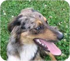 c me australian shepherds zetsu foster needed adopted dog kennebunkport me